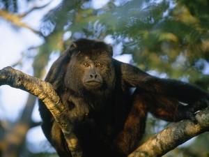 black-howler-monkey_467_600x450