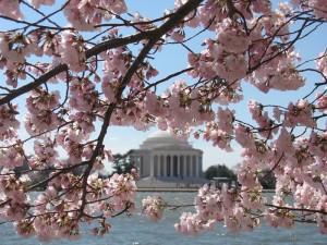 washington dc cherry blossom photo 2009 n-146